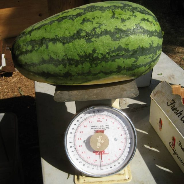 Some big ol watermelons coming out of the field thishellip