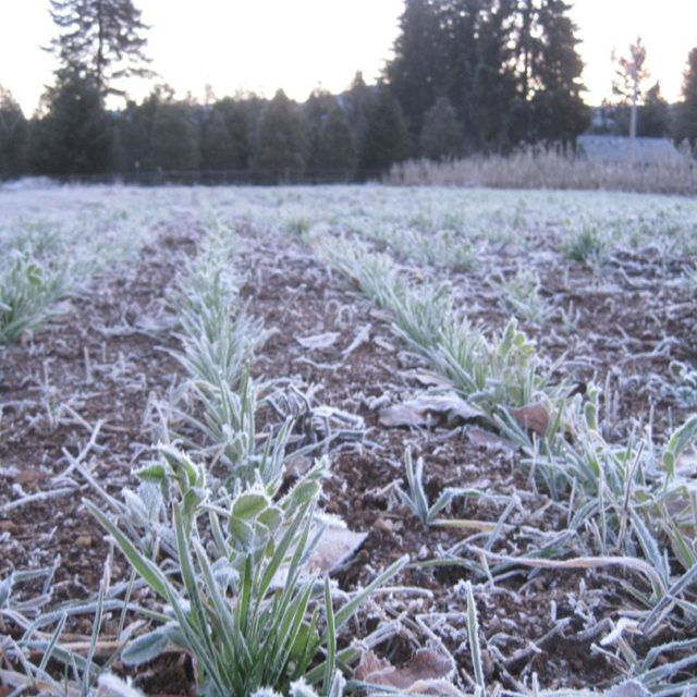Morning frost on cover crop